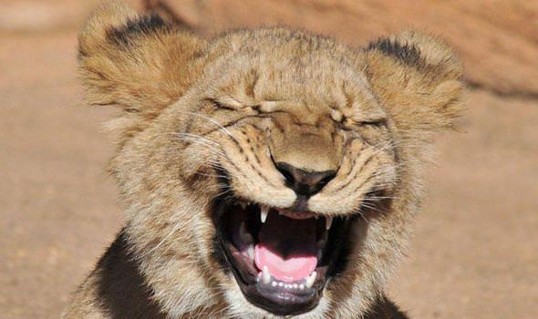 lion-374813
